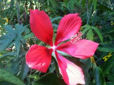 Got wet soil? Then this is the perfect flowering plant solution for your garden. Native to the marshes and swamps of the southeastern states – from Louisiana to North Carolina –swamp mallows (Hibiscus coccineus) actually prefer wet soil and even standing water. They produce large red blooms from June to September.