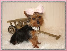 My Tiny Yorkie's: One of Sophie and Bobbies Puppies from previous li...