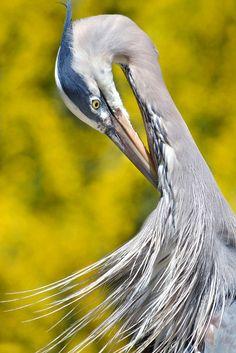 A Blue Heron does some self grooming under sunny skies at the San Diego Zoo Pretty Birds, Love Birds, Beautiful Birds, Animals Beautiful, Crazy Bird, Big Bird, Grey Heron, White Egret, Bird Artwork
