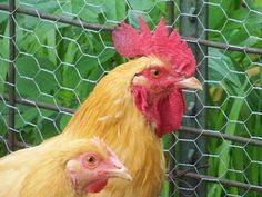 Hickery Holler Farm: Feeding Chickens