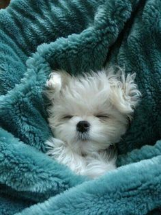 ⓕurry & ⓕeathery ⓕriends - photos of birds, pets & wild animals - Maltese puppy Cute Baby Animals, Animals And Pets, Funny Animals, Wild Animals, Maltese Dogs, Baby Maltese, Teacup Maltese Puppies, Maltese Poodle, Tier Fotos