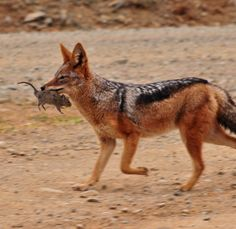 Black Backed Jackal playing with a rat.