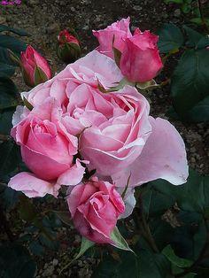 Rosa 'Queen Elisabeth'