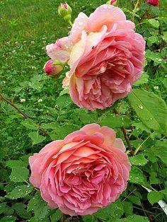 'Jubilee Celebration' | Shrub. English Rose Collection. Austin 1998 | Flickr - © Marie-Thérèse