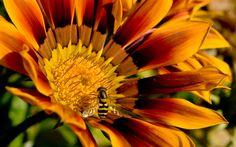 Bee On Flower - http://wallpaperzoo.com/bee-on-flower-46952.html  #BeeOnFlower