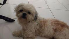 Found Dog - Shih Tzu - West Palm Beach, FL, United States