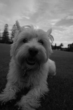 I don't normally like these small types of dogs, but I love Westies!