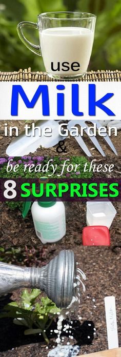 Learn about the 8 amazing milk uses in the garden backed by experiments and research!