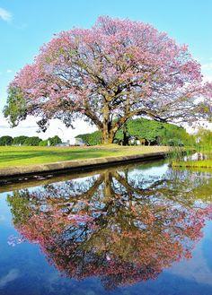 Best Brazilian Flowering trees
