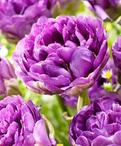 ~~Tulip 'Blue Wow' ~ blue-violet tulip with an enormous number of petals, late flowering. Bulb Flowers, Tulips Flowers, Love Flowers, Daffodils, Purple Flowers, Planting Flowers, Spring Flowering Bulbs, Spring Bulbs, Amazing Flowers