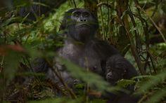 Parque em Uganda divide com moradores da região a remuneração ganha em tours de observação de gorilas