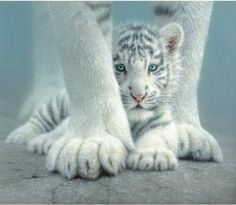 Sheltered White Tiger Cub  SunsOut 550 Piece Jigsaw Puzzle by Artist Collin Bogle, $12.50