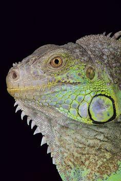 Green Iguana (Iguana rhinolopha)