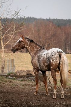 "Swedish appaloosa. Woud it be like ancient King Rustam's horse Rakhsh? The color of Rakhsh is described as ""rose leaves that have been scattered upon a saffron ground"""