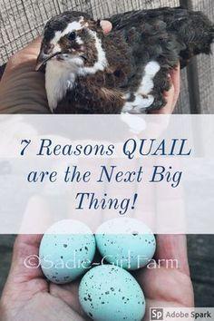 Get Started Raising Quail - Sadie-Girl Farm Quail Pen, Quail Coop, Quail Eggs, Chicken Garden, Backyard Chicken Coops, Chickens Backyard, Backyard Poultry, Raising Quail, Raising Chickens