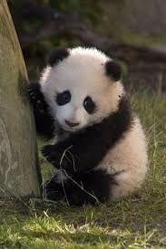 Resultado de imagen de osos pandas tiernos