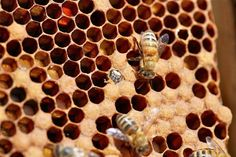 Evidence of a healthy colony: new baby bees emerging from the same six-sided hexagonal wax honeycomb cells in which bees store honey.