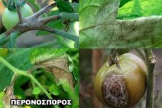 Prepared for Late Blight (and other Leaf Disease!) Be Prepared for Late Blight (and other Leaf Disease!)Be Prepared for Late Blight (and other Leaf Disease! Fruit Garden, Fruits And Vegetables, Organic Gardening, Eggplant, Farmer, Garden Design, Leaves, Plants, Tomatoes