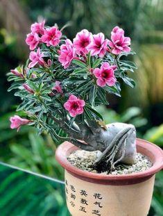 Aprenda a cuidar de rosas do deserto clique neste pin e confira Beautiful Forest, Beautiful Flowers, Mini Bonsai, Bonsai Art, Desert Plants, Desert Rose, Colorful Garden, Ikebana, Potted Plants