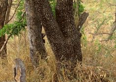 Amazing Animal Camouflage - A leopard takes camouflage to a whole new level. Can you spot it? Hint: It's near the base of the tree. This photo was taken in the wildlife of Kruger National Park, Transvaal, South Africa. Ocelot, Art Wolfe, Camouflage, Der Leopard, Cheetah, Leopard Cat, Animal Pictures, Funny Pictures, Funny Pics