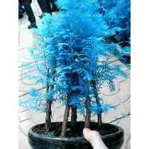 100 Sementes Metasequóia Árvore Cor Céu Azul Bonsai Gramas