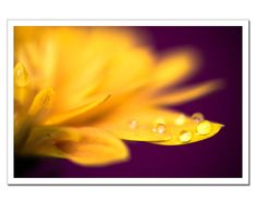 This would look incredible over the sofa! Chrysanthemum Macro Photograph Autumn Mum Flower Decor, Chrysanth Macro Photography, Petals Waterdrops,r