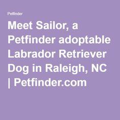 Meet Sailor, a Petfinder adoptable Labrador Retriever Dog in Raleigh, NC | Petfinder.com