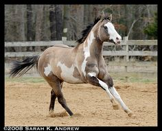OH Justin Time: Silver Grullo Overo Paint Stallion by Rock and Racehorses, via…