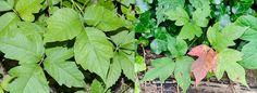 Toxicodendron radicans, Anacardiaceae