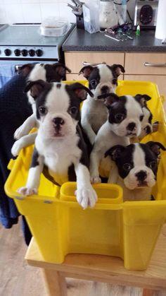 A bucket of Bostons