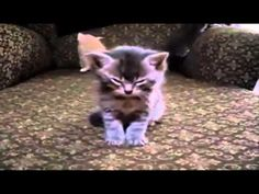 Cat Attacks Dog funny cats, cute cats, cute kitten, crazy cats