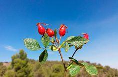 La 'Rosa agrestis Savi', elegida planta del mes de noviembre #plantas #flora #agroturismo #ecoturismo #Almeria