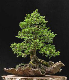 #European #spruce #bonsai of Walter Pall http://www.roanokemyhomesweethome.com