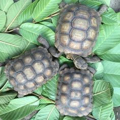 3 desert tortoise buddies from the same egg clutch rescued from a flooded area