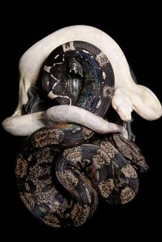 crispysnakes:  Morph: Anery IMG  Snow Species: Common Boa - boa constrictor imperator (BCI) Produced by:  BetterBoa