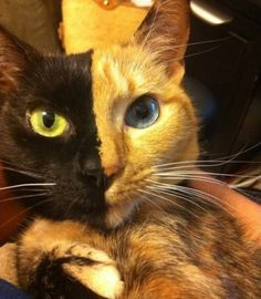 Chimeric cat with two faces? The mystery of Mr. Venus