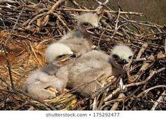 Baby Bald Eagle, Real Mexico, Owl, Bird, Animals, Animales, Animaux, Owls, Birds