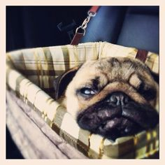 Here is Waffles in his new car seat! Safety first!!   #pugs