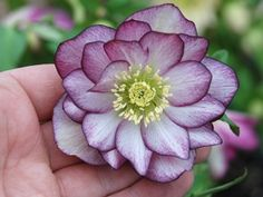 "Botanical Name:  Helleborus Winter Jewels Tm Peppermint Ice  Common Name:  Lenten Rose  Zone:4,5,6,7,8  Sun Exposure:  Shade-Part Shade  Delivery:  See Schedule  Ship Form:  1 Quart  Soil Type:  Normal  Soil Moisture:  Average  Height x Width:  20"" x 24""  Flower Color:  Double Pink & White  Foliage Color:  Green  Bloom Season:  Winter-Spring  Uses:  Border, Cottage Gardening, Foundation Planting, Ground Cover, Massing, Naturalizing, Ornamental, Slopes, Specimen, Woodland"