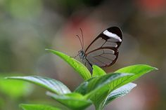 Ventral view of a Glasswing butterfly, also known as Greta oto; Close up macro photography artwork from the beautiful Magic Wings butterfly garden in South Deerfield, Massachusetts.  www.RothGalleries.com