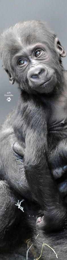 Gorilla Baby Cute Baby Animals, Animals And Pets, Funny Animals, Primates, Animal Intelligence, Types Of Monkeys, Magnificent Beasts, Baby Gorillas, Mountain Gorilla