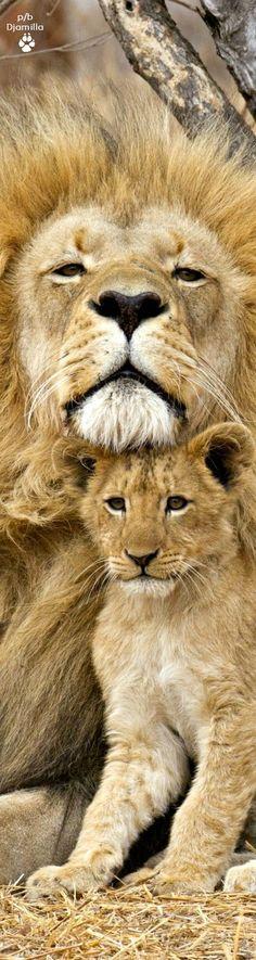 Papa Lion & His Cub