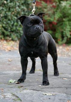 STAFFWIZE SHAKIRA AT KOBELLIE | Staffordshire Bull Terrier
