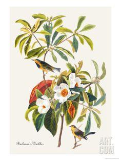 Bachman's Warbler Premium Poster by John James Audubon at Art.com