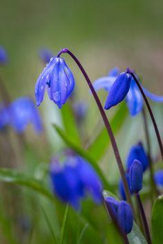 """Skillat heräävät uniltaan ©Jani Mielonen: """"Pieni, hento, sitkeä skilla jaksaa uhmata ensimmäisten joukossa kevään sateita ja tuoda kauneutta, eloa ja iloa talven jälkeen. Kesä on todellakin tulossa!"""""""