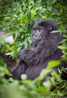 A young mountain gorilla photographed in Bwindi Impenetrable National Park, Uganda.