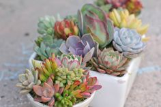 """Succulents in 7″ white square container. Kalanchoe """"flapjacks"""" in center."""