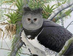 Harpy Eagle - It is the largest and most powerful raptor found in the Americas, and among the largest  species of eagles in the world. It extends from Mexico to Argentina.