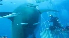 Deep Blue was first filmed near Mexico's Guadalupe Island in 2013 and featured on Discovery Channel show Jaws Strikes Back
