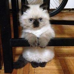 Funny cats - part 176 pics + 10 gifs) Cute Baby Animals, Animals And Pets, Funny Animals, Pretty Cats, Beautiful Cats, Cute Cats And Kittens, Kittens Cutest, Munchkin Kitten, Funny Animal Photos